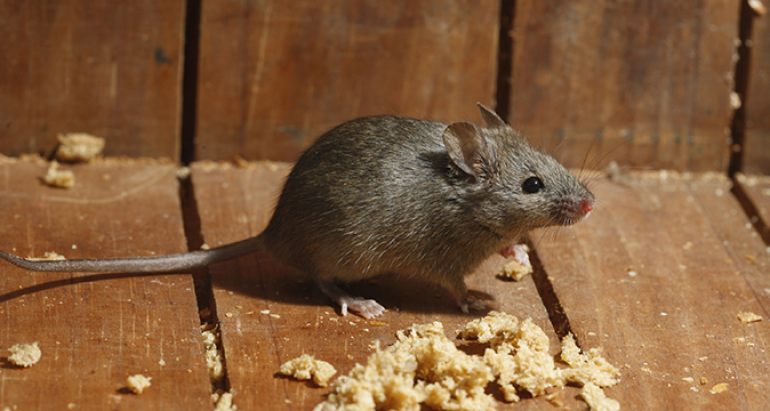 How To Stop Mice From Returning To Your Property